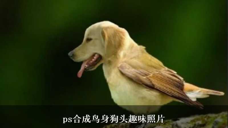 ps合成鸟身狗头趣味照片