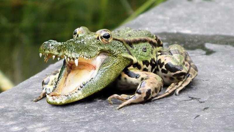 ps合成鳄鱼青蛙教程