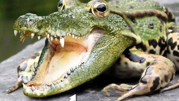 ps合成鳄鱼青蛙教程(13)