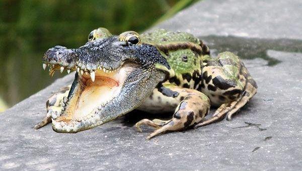 ps合成鳄鱼青蛙教程(7)