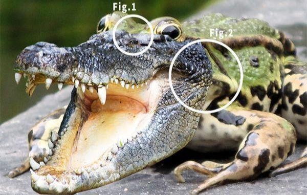 ps合成鳄鱼青蛙教程(6)