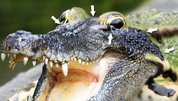 ps合成鳄鱼青蛙教程(8)